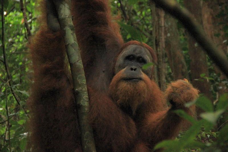Bukit Lawang Sumatra Orang Utans 21