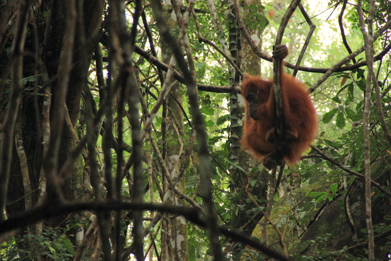 Bukit Lawang Sumatra Orang Utans 15