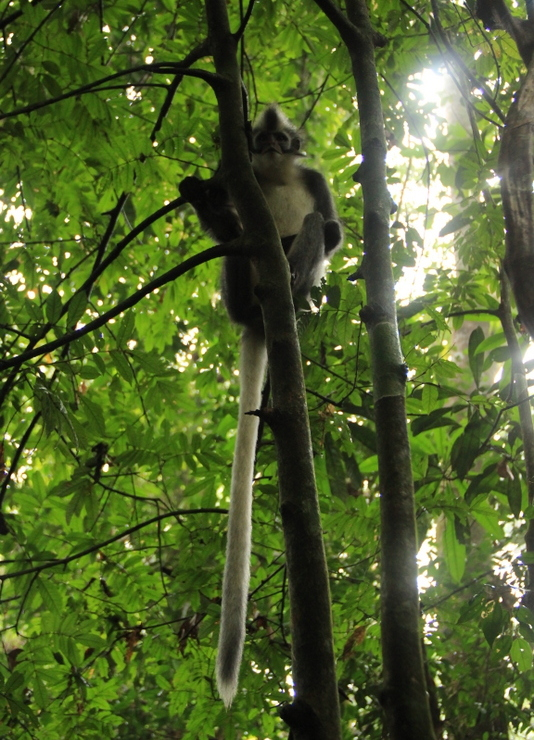 Bukit Lawang Sumatra Orang Utans 12