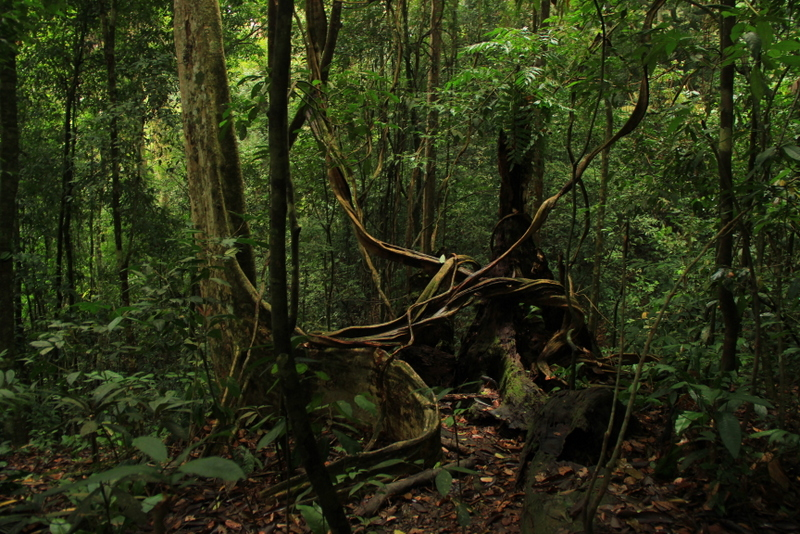 Bukit Lawang Sumatra Orang Utans 6